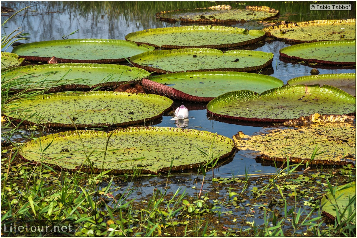 Fabio's LifeTour - Brazil (2015 April-June and October) - Manaus - Amazon Jungle - Parque do Janauary - 3- Water lilies - 9644 cover