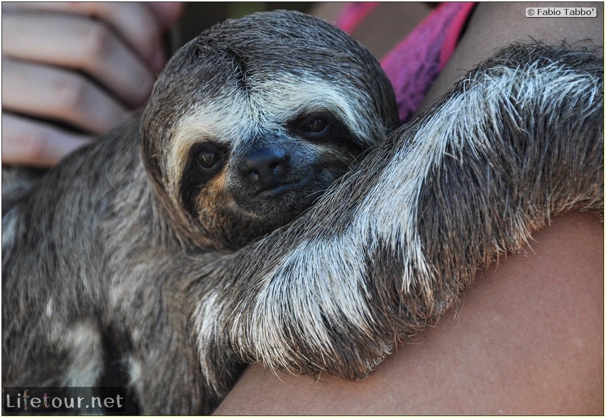 Fabio's LifeTour - Brazil (2015 April-June and October) - Manaus - Amazon Jungle - Sloth petting - 10954 cover