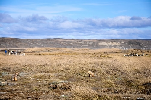 Fabio_s-LifeTour---Chile-(2015-September)---Porvenir---Tierra-del-Fuego---Parque-Penguinos-Rey---2--Foxes---10909 cover