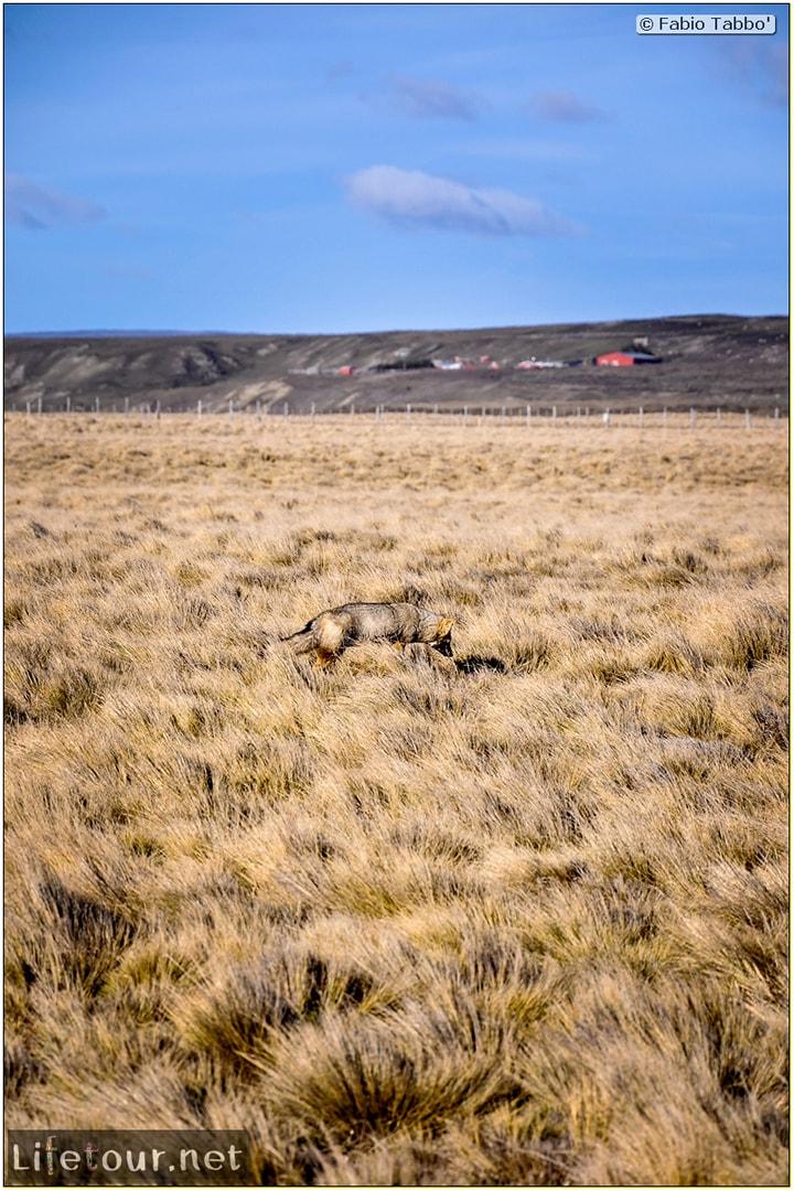 Fabio_s-LifeTour---Chile-(2015-September)---Porvenir---Tierra-del-Fuego---Parque-Penguinos-Rey---2--Foxes---11098