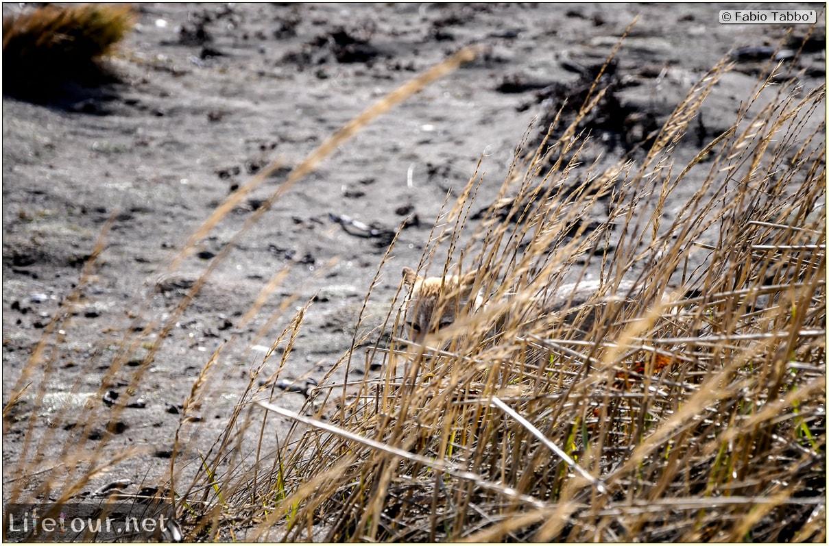 Fabio_s-LifeTour---Chile-(2015-September)---Porvenir---Tierra-del-Fuego---Parque-Penguinos-Rey---2--Foxes---9005