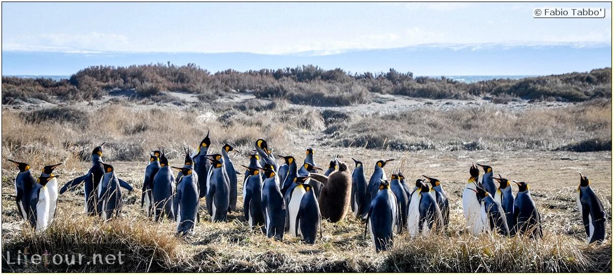 Fabio_s-LifeTour---Chile-(2015-September)---Porvenir---Tierra-del-Fuego---Parque-Penguinos-Rey---3--Emperor-pinguins---1018