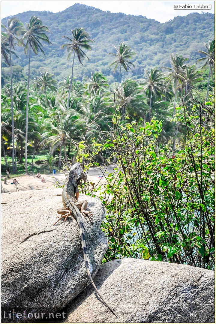Fabio_s-LifeTour---Colombia-(2015-January-February)---Santa-Marta---Tayrona-park---Feeding-iguanas---6196