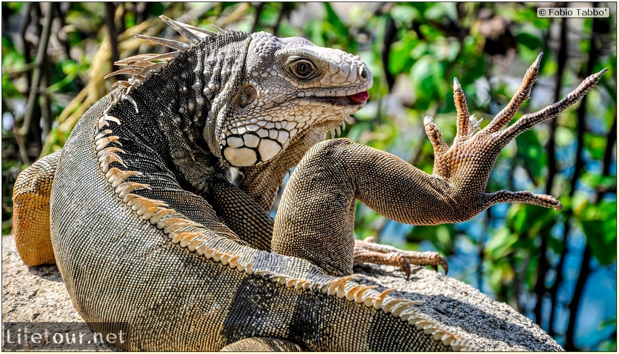 Fabio_s-LifeTour---Colombia-(2015-January-February)---Santa-Marta---Tayrona-park---Feeding-iguanas---6956 COVER