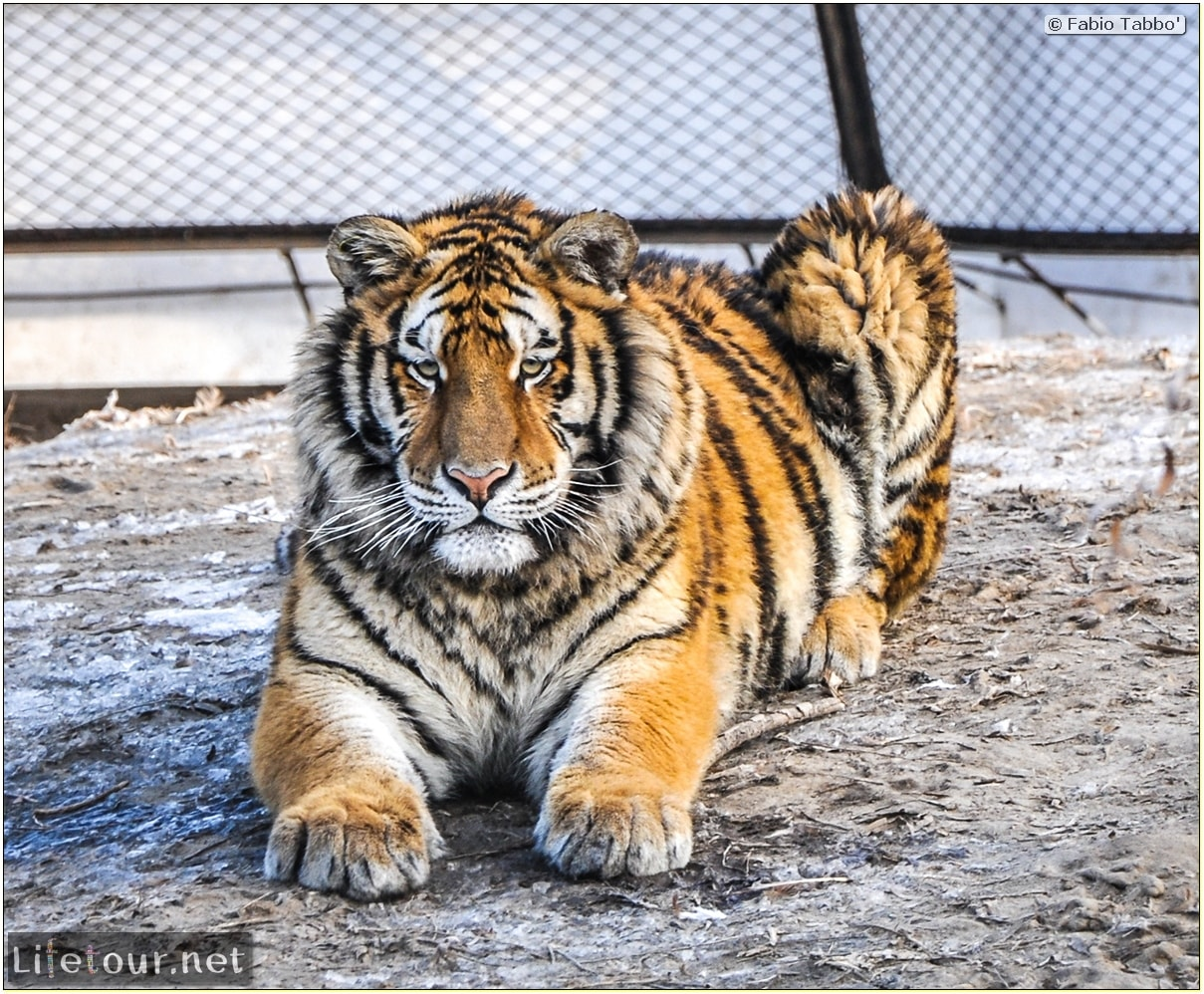 Fabio's LifeTour - China (1993-1997 and 2014) - Harbin (2014) - Siberian Tiger Park - 5652 COVER