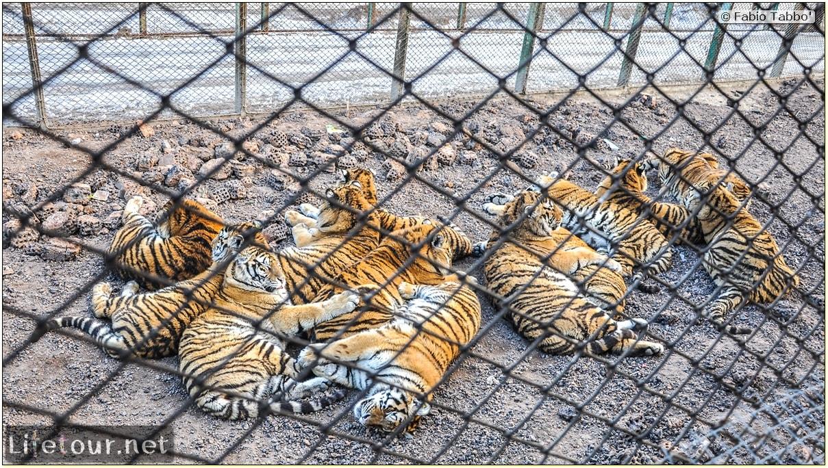Fabio's LifeTour - China (1993-1997 and 2014) - Harbin (2014) - Siberian Tiger Park - 6000