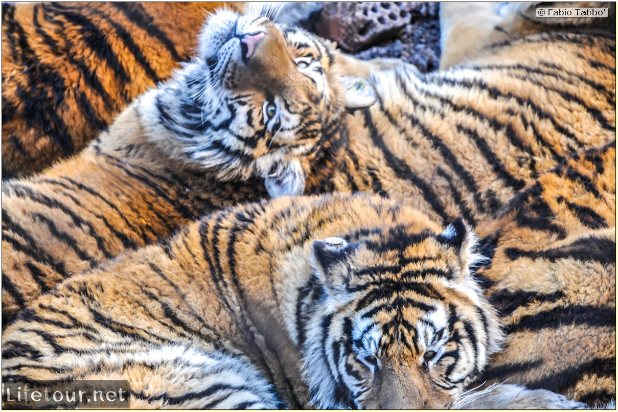 Fabio's LifeTour - China (1993-1997 and 2014) - Harbin (2014) - Siberian Tiger Park - 6123