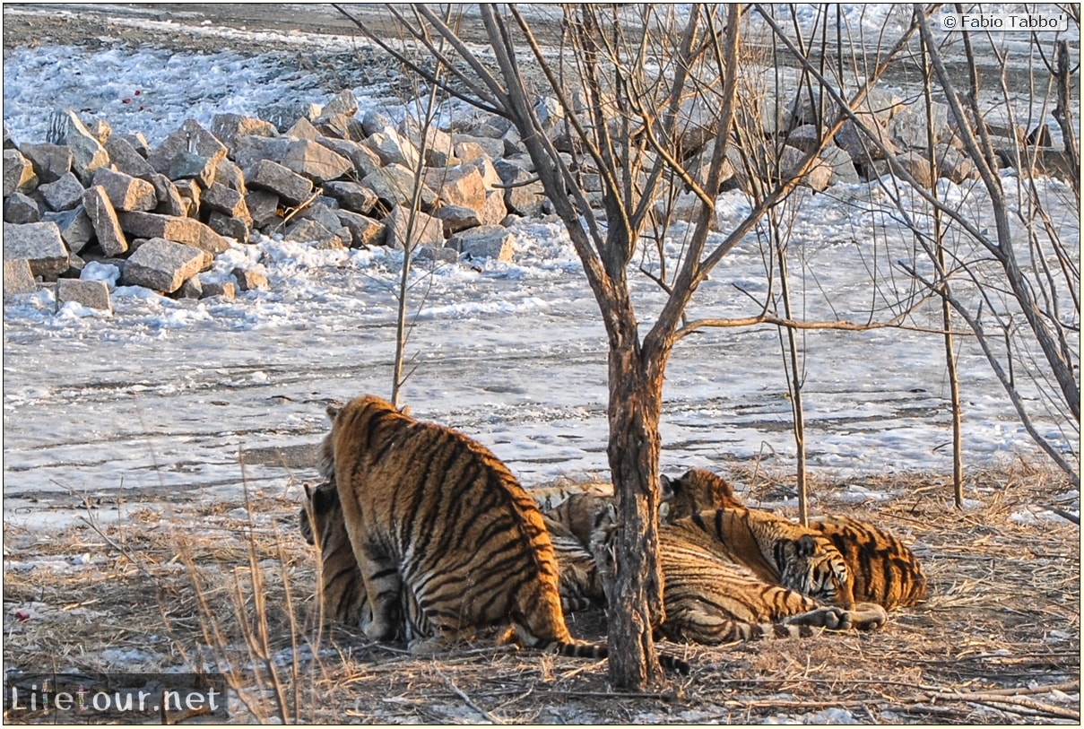 Fabio's LifeTour - China (1993-1997 and 2014) - Harbin (2014) - Siberian Tiger Park - 7368