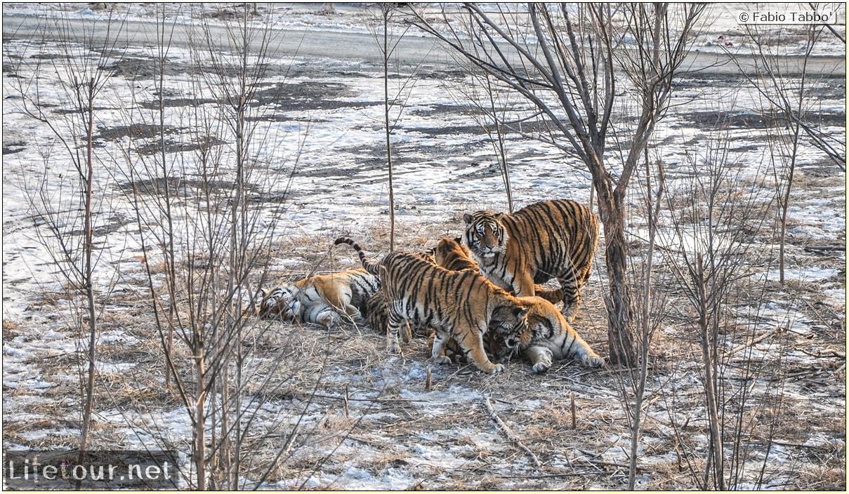 Fabio's LifeTour - China (1993-1997 and 2014) - Harbin (2014) - Siberian Tiger Park - 7397