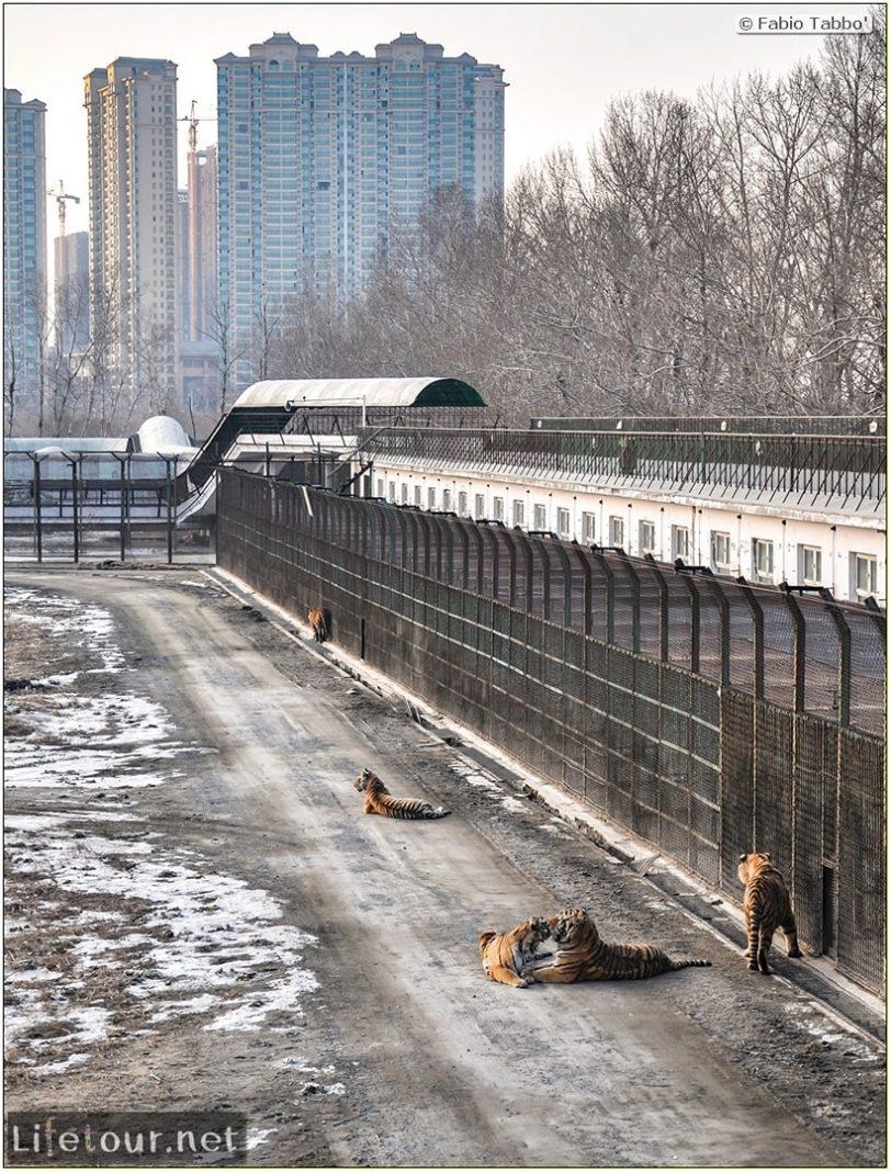 Fabio's LifeTour - China (1993-1997 and 2014) - Harbin (2014) - Siberian Tiger Park - 7432