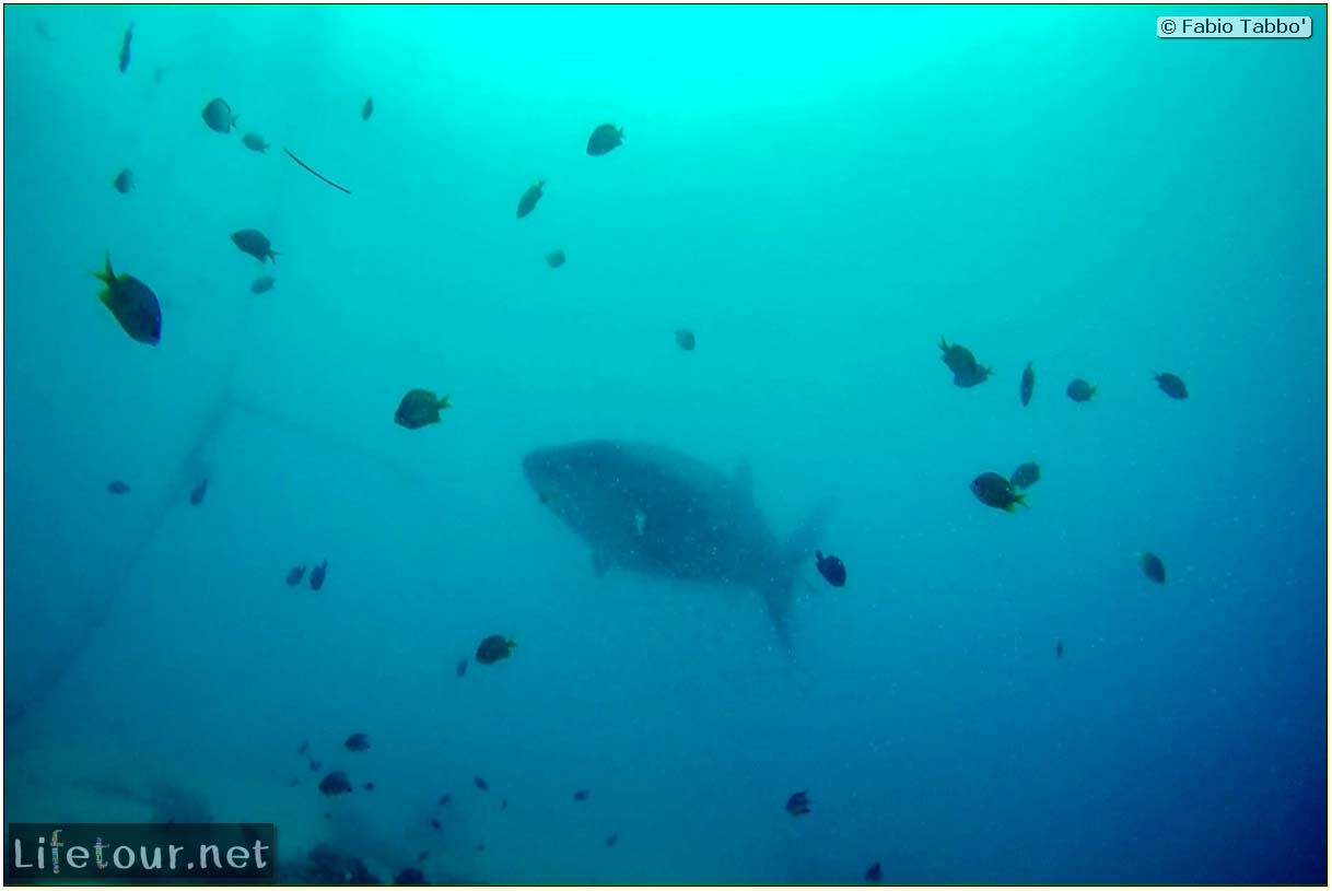 Cebu-Island-Oslob-Scuba-Diving-with-whale-sharks-Scuba-diving-with-whale-sharks-74