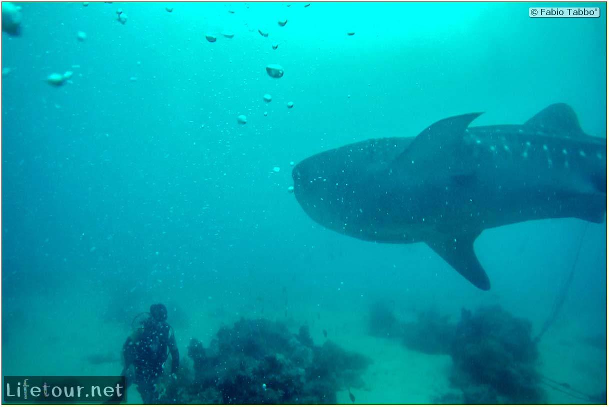 Cebu-Island-Oslob-Scuba-Diving-with-whale-sharks-Scuba-diving-with-whale-sharks-75