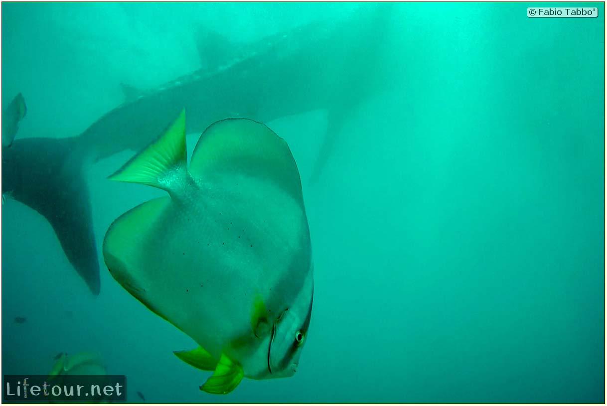 Oslob-Scuba-Diving-with-whale-sharks-Scuba-diving-with-whale-sharks-37