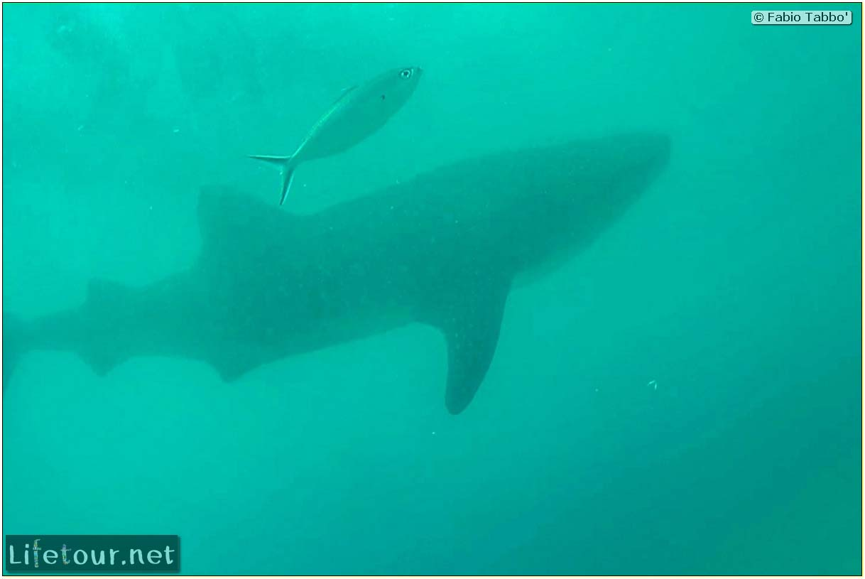 Oslob-Scuba-Diving-with-whale-sharks-Scuba-diving-with-whale-sharks-45