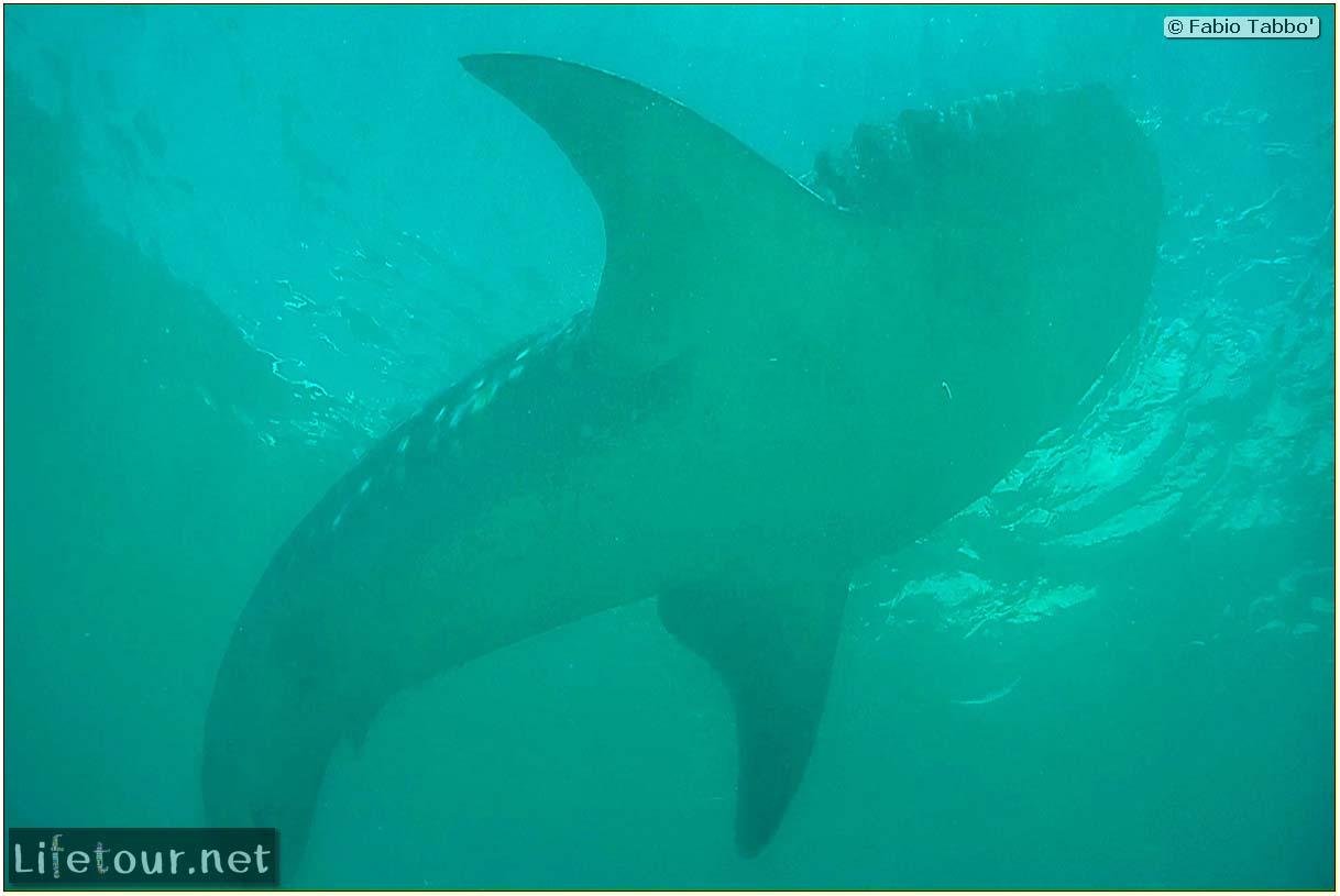Oslob-Scuba-Diving-with-whale-sharks-Scuba-diving-with-whale-sharks-57